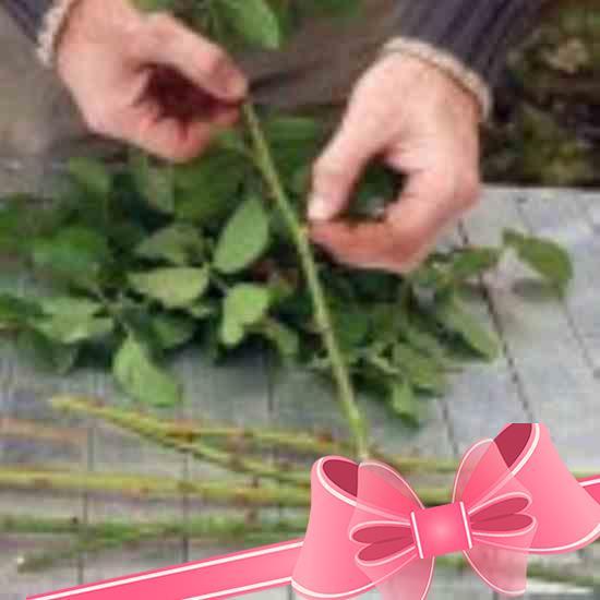 Грунт для выращивания роз из черенков 97